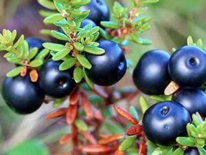 crowberry ali Shiksha sok